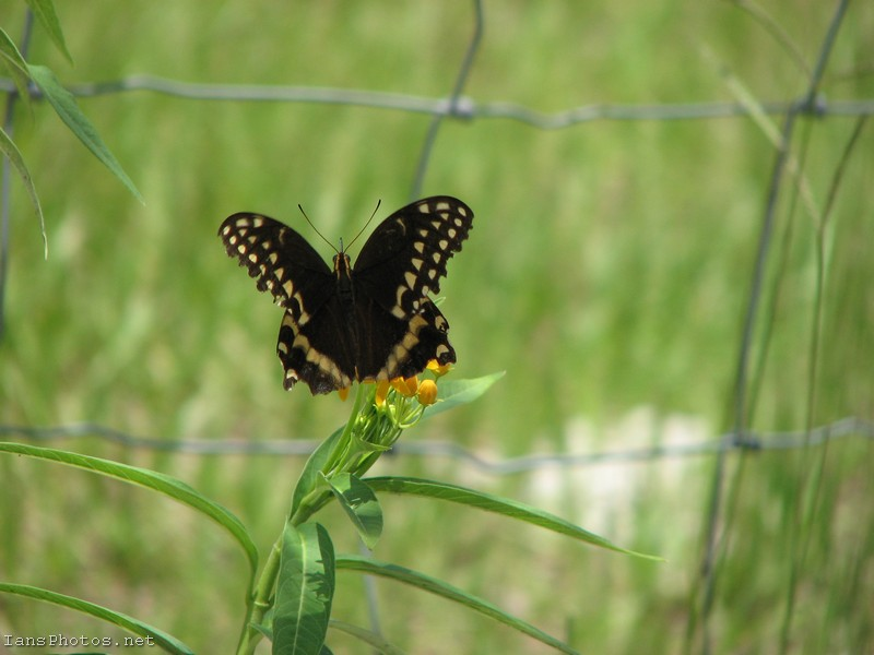 Swallotail Butterfly