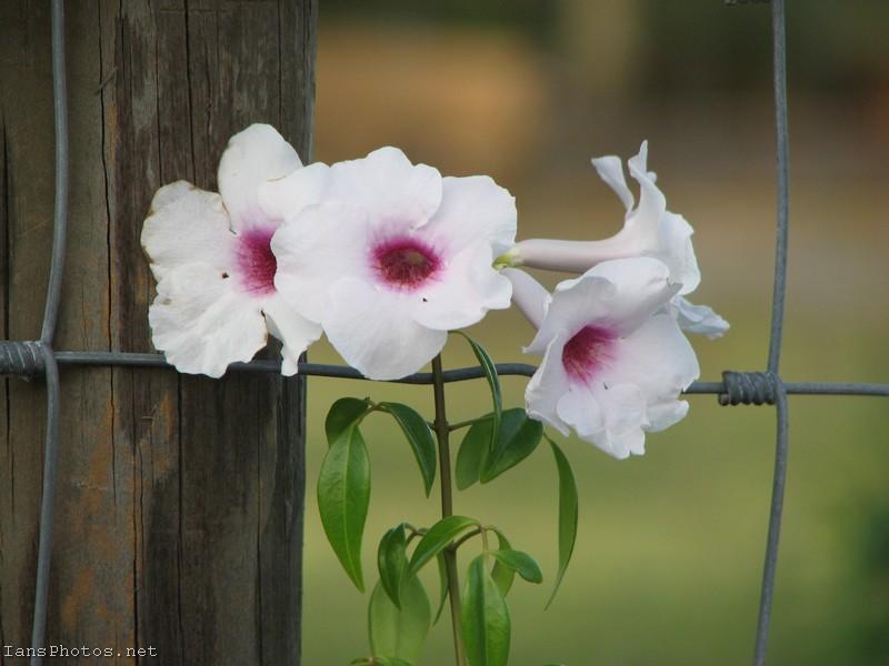 Pandora Flower Vine
