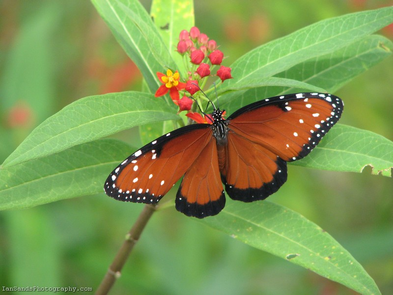 Queen butterfly on milkweed